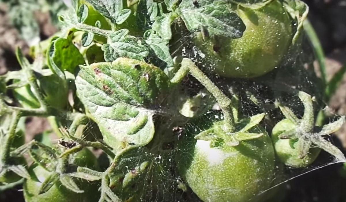 клеща на помидорах