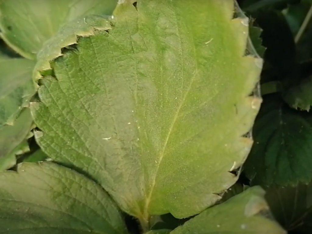 Лист клубники поражённый клещом
