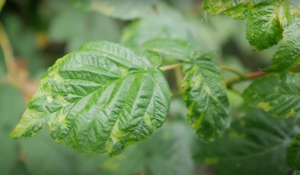 Лист смородины поражённый клещом