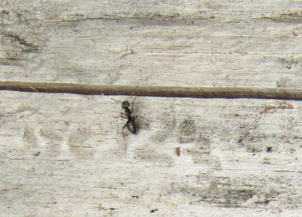 муравей на полу дома