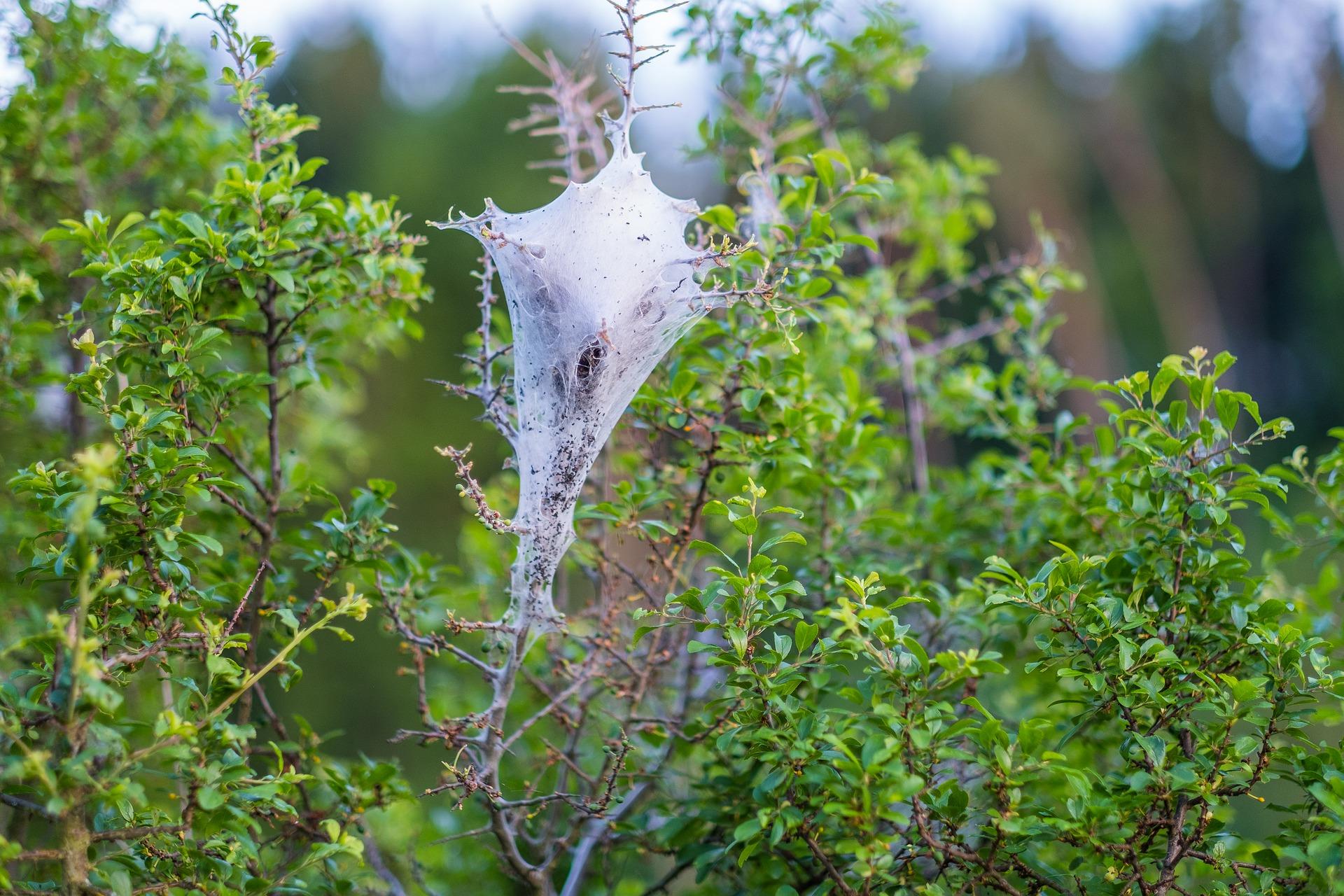 Яблоня заражённая паутинным клещом