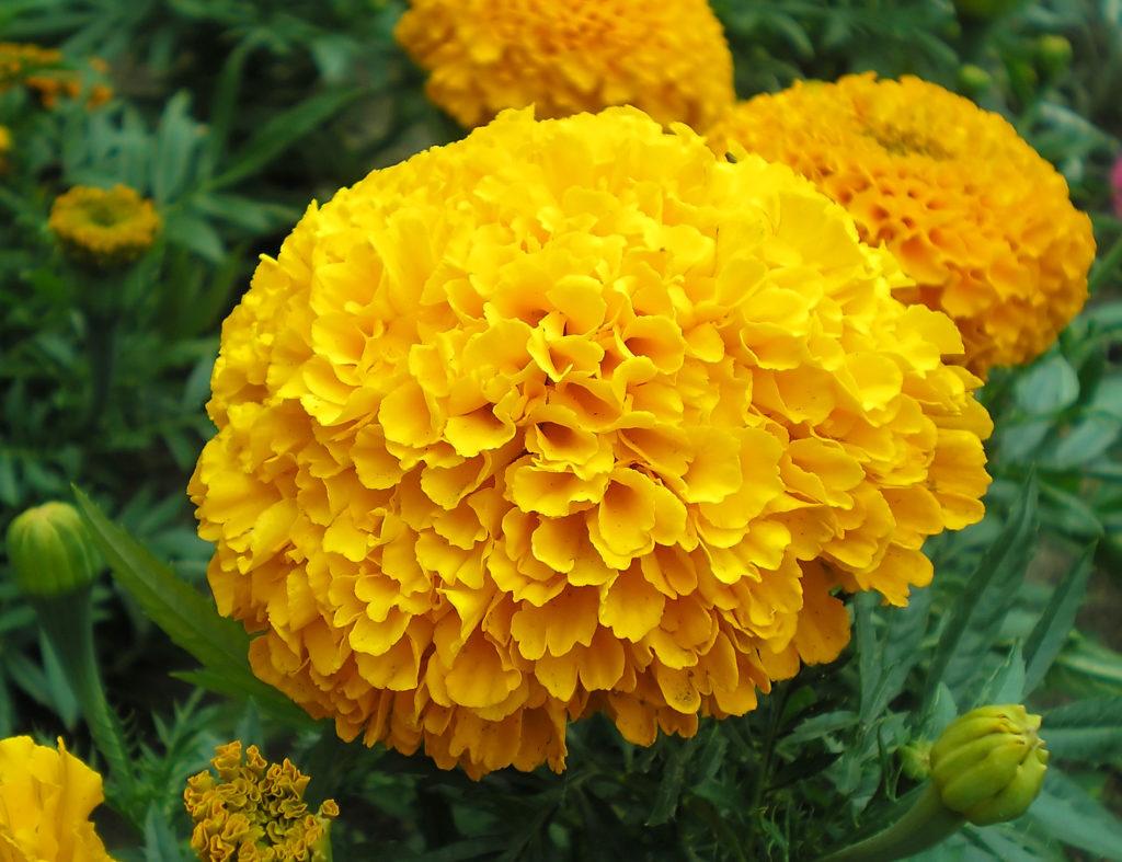 Цветы бархатца