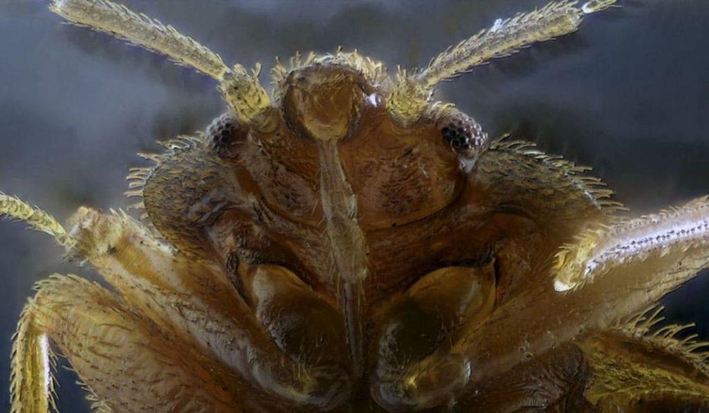 Фото: голова постельного клопа под микроскопом