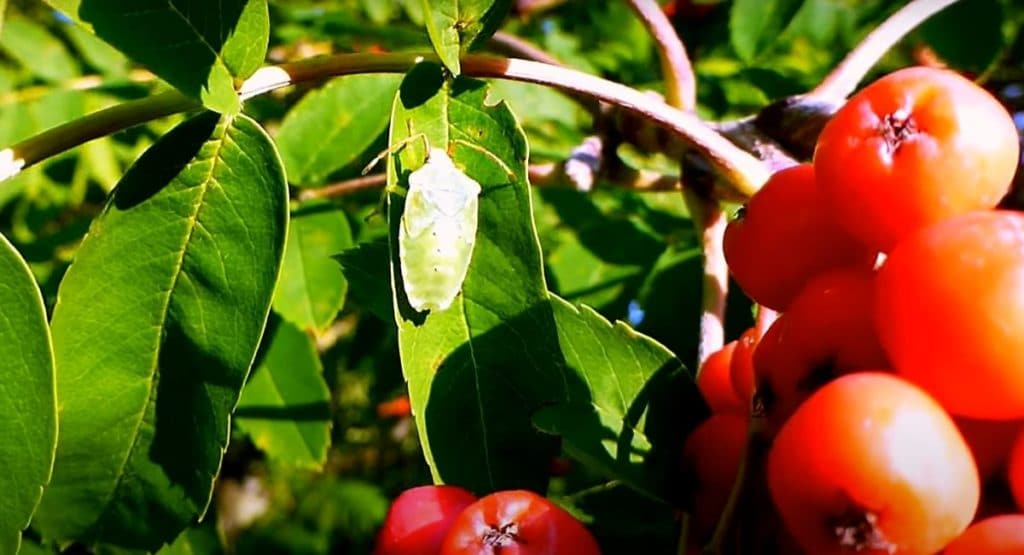 Фото: Лесной клоп питается соком листьев рябины
