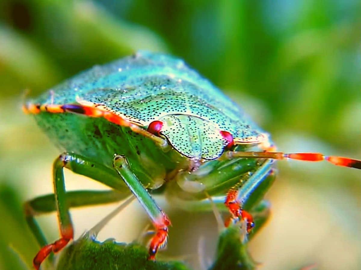 Фото Лесной клоп зелёный