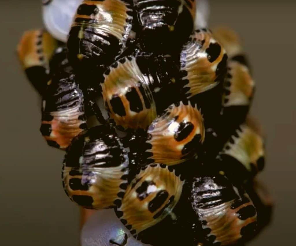 Фото: Личинки (нимфы) зелёных клопов