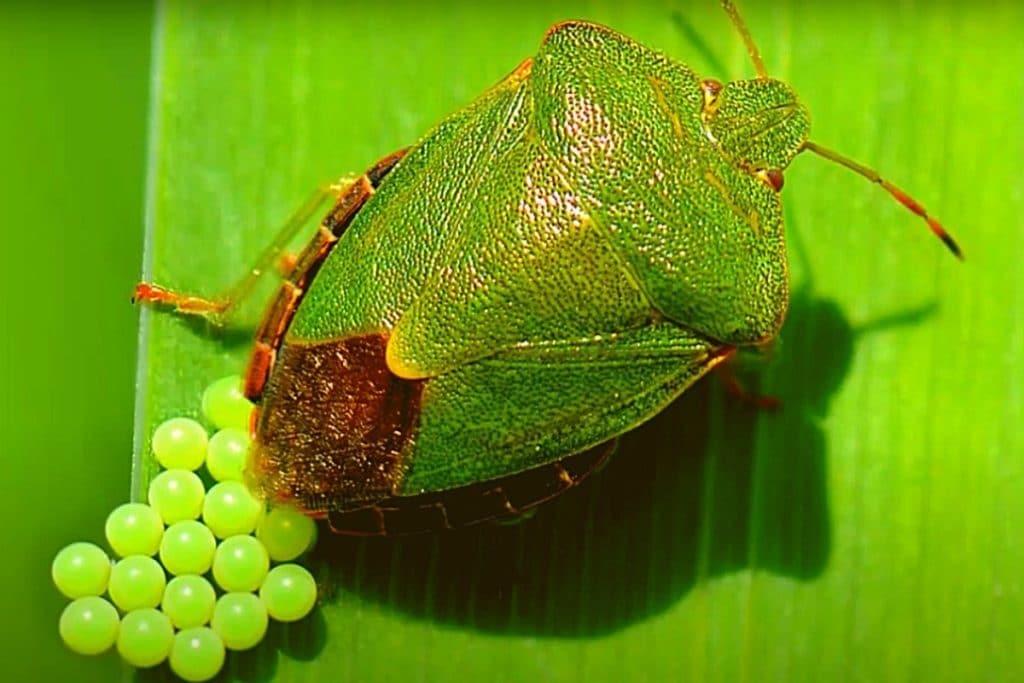 Фото: Откладывания яиц зелёным клопом