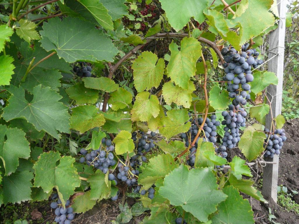 Фото. Паутинный клещ на винограде