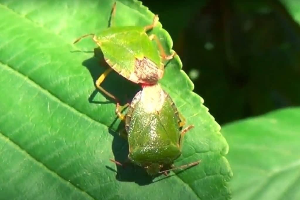 Фото: Спаривание зелёных клопов