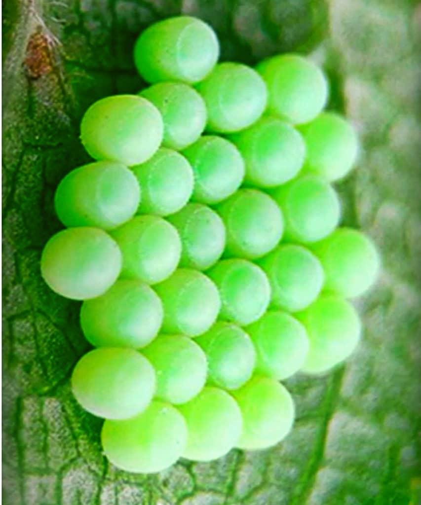 Фото Яйца лесного зелёного клопа