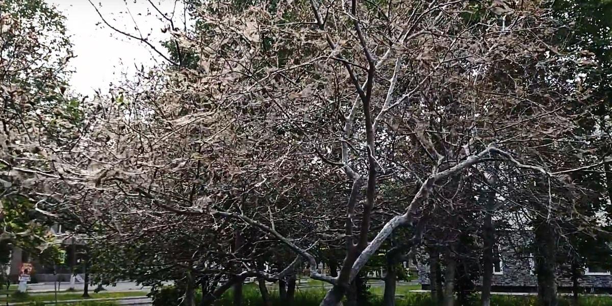 Паутинный клещ на деревьях