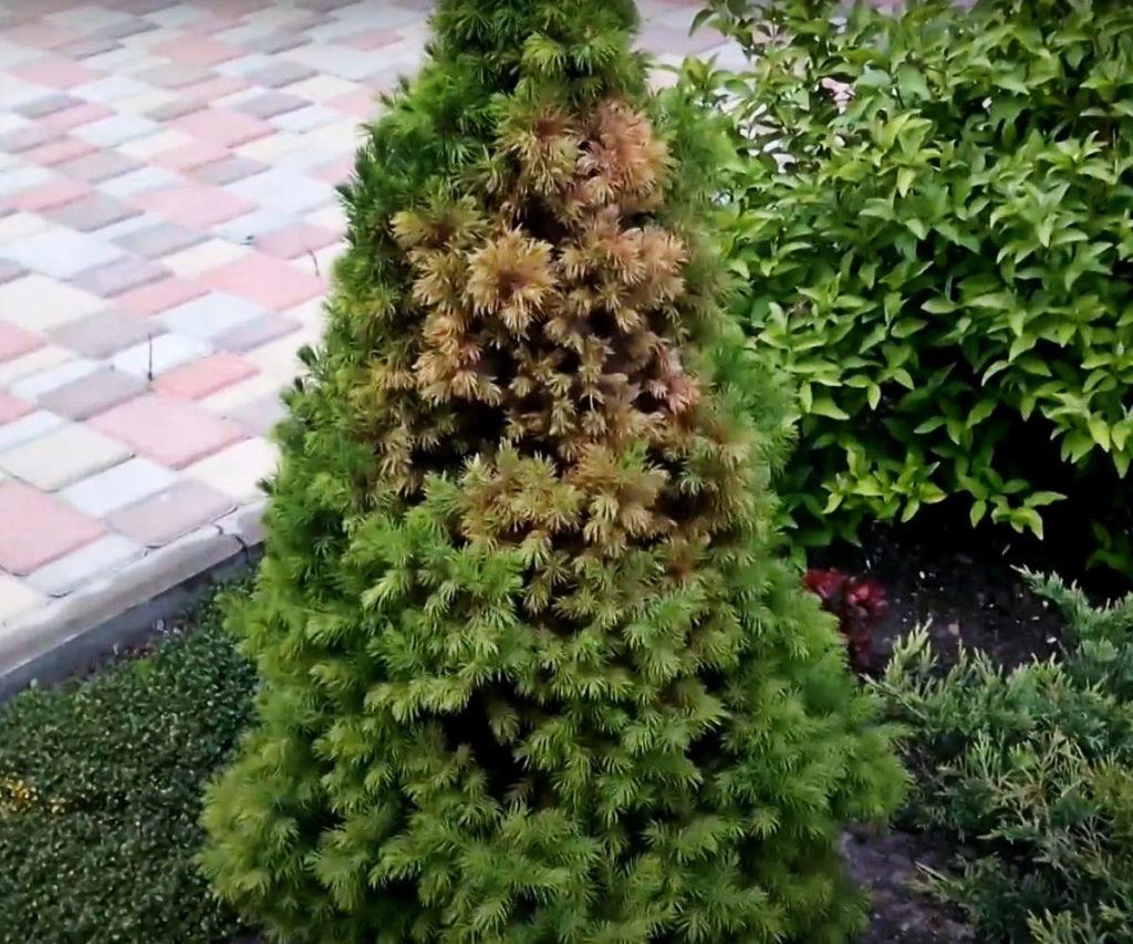 Паутинный клещ на хвойном растении