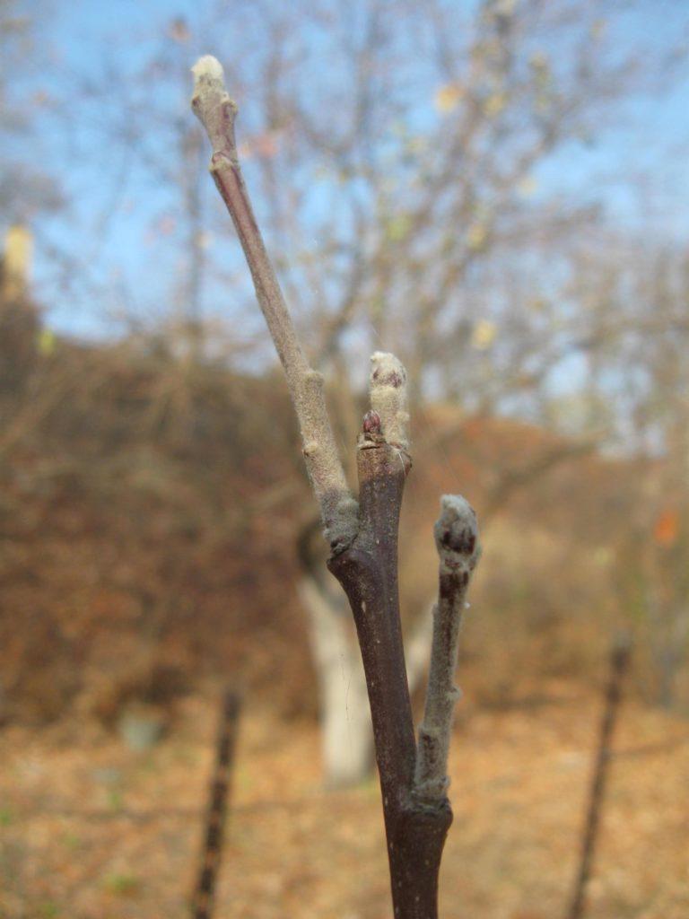 Веточки яблони ранней осенью, пораженные паутинным клещом