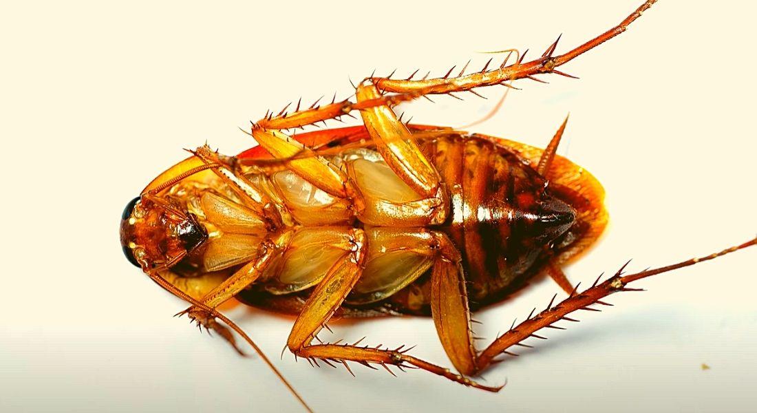 Фото: Тараканы описание общая информация