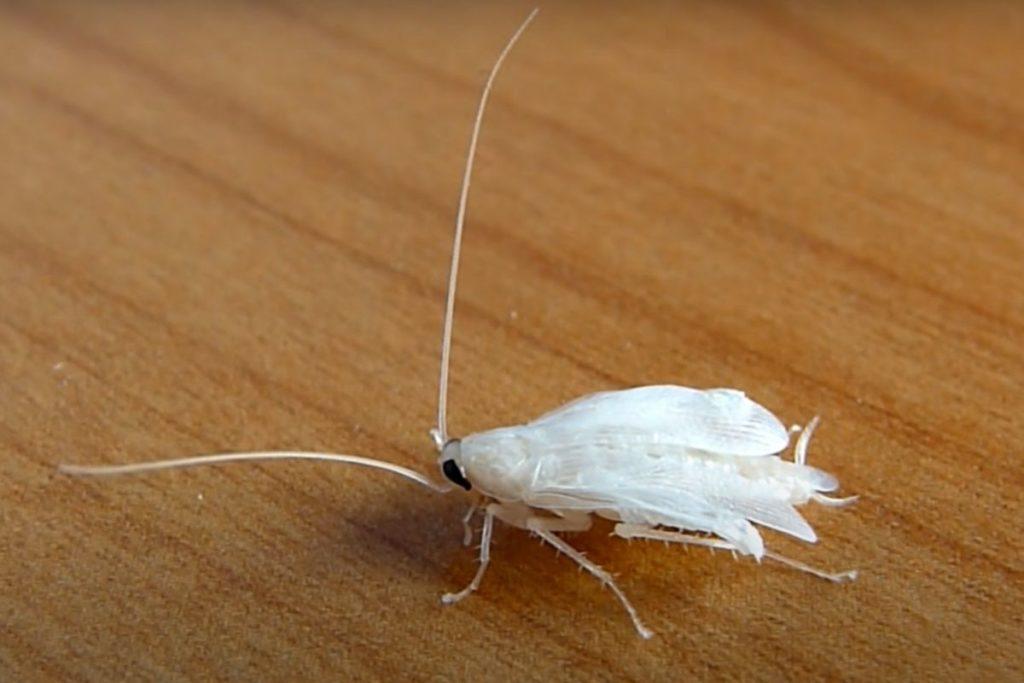 Фото: Белый таракан (после линьки)