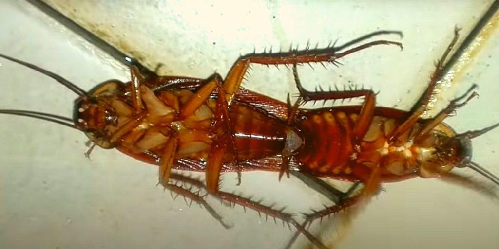 Фото: Половой акт тараканов