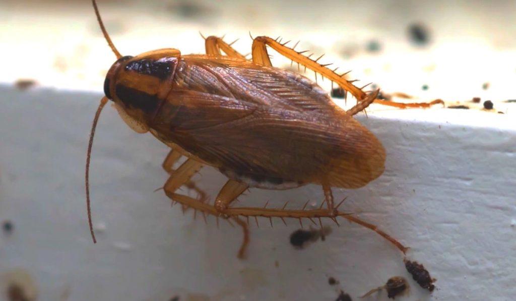 Фото: Рыжий таракан (прусак)