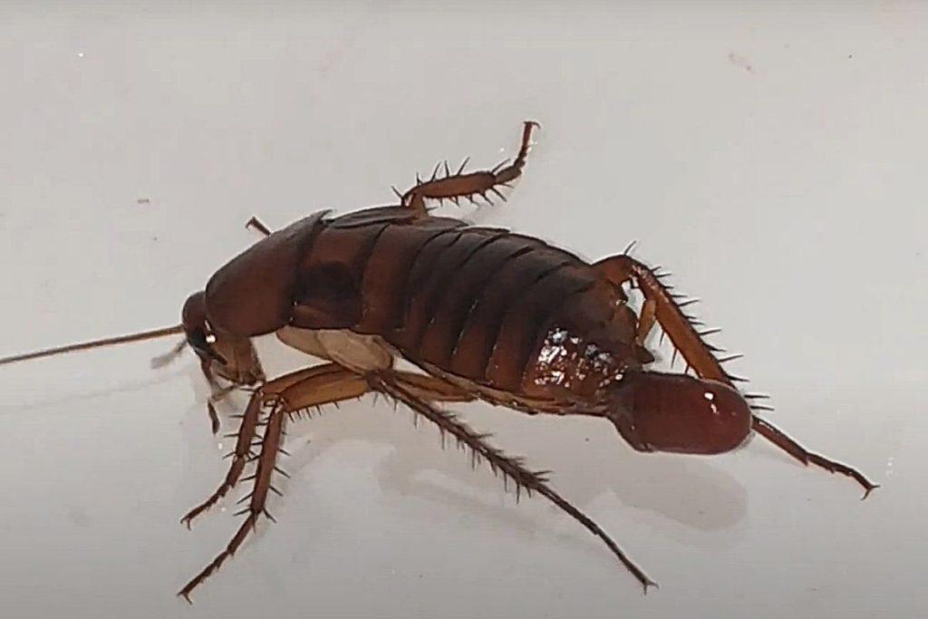 Фото: Самка таракана откладывает яйца