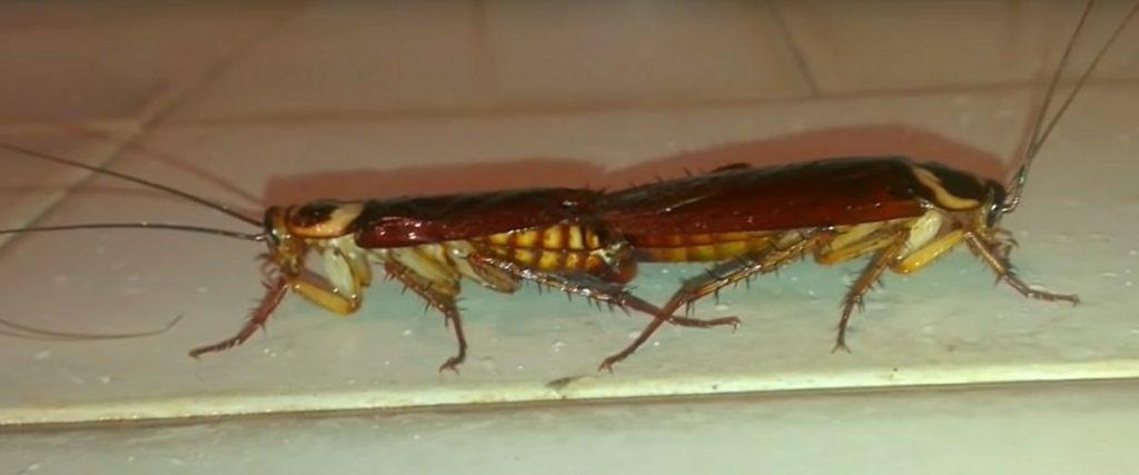 Фото: Спаривание тараканов (крупным планом)