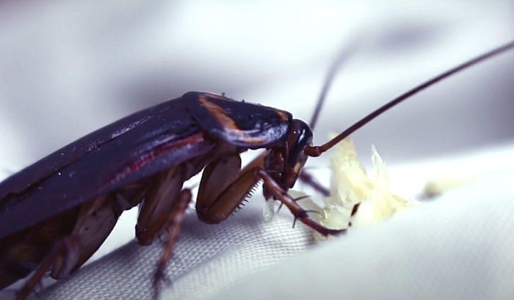 Фото: Таракан питается остатками пищи