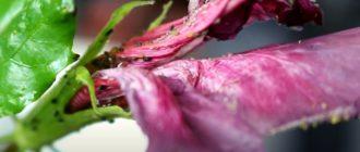 Фото: Тля на комнатных цветах