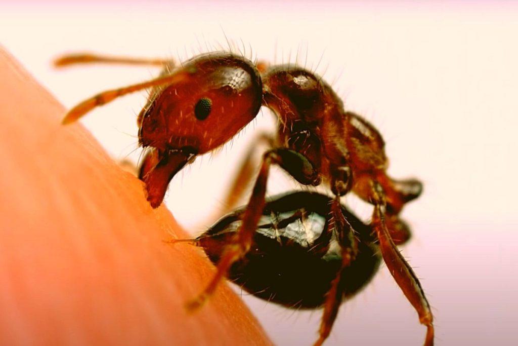 Фото: Укус муравья