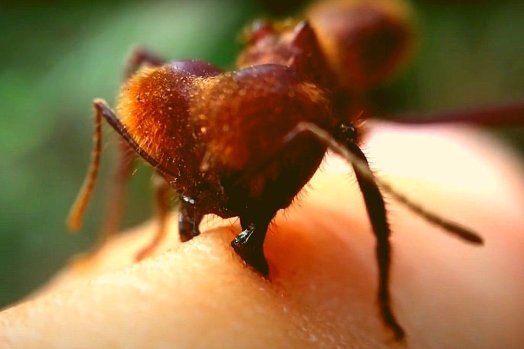 Фото: Укус муравья крупным планом