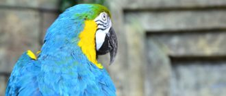 Блохи у попугаев